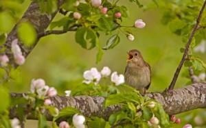Rossignol_nightingale