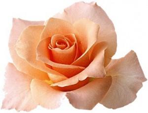 rose-fleur-saumon-070110