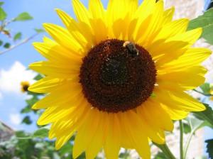 Pour ensoleiller votre journÈe, voici un tournesol, butinÈ par une abeille ‡ moins que ce ne soit un petit bourdon. :6: